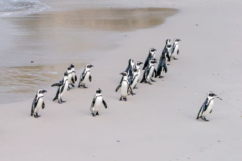 penguin jackass leader