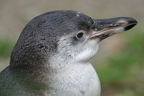 penguin humboldt penguin young animal