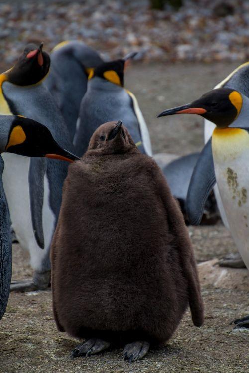 penguin pingu young penguin