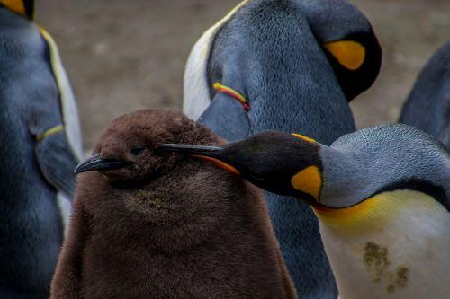 emperor penguin penguin young penguin