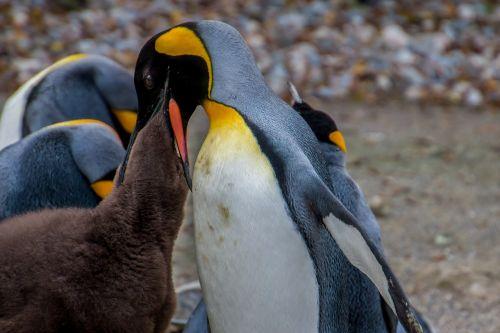penguin emperor penguin pingu