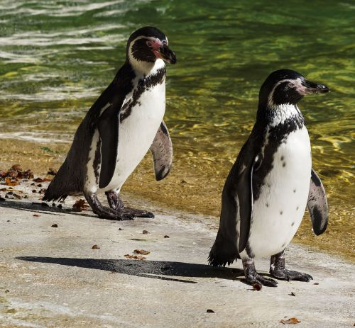 penguin south africa aves