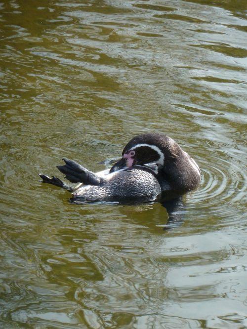 pingvinas,zoologijos sodas,vanduo,gyvūnas,mielas,zoologijos sodas gyvūnas,gyvūnų pasaulis,zoologijos sodas,vandens paukštis