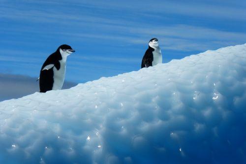 penguin antarctica birds