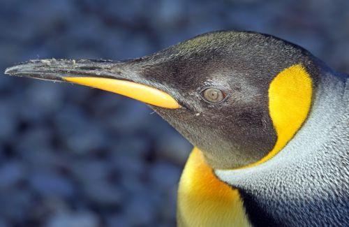 penguin king penguin big penguin