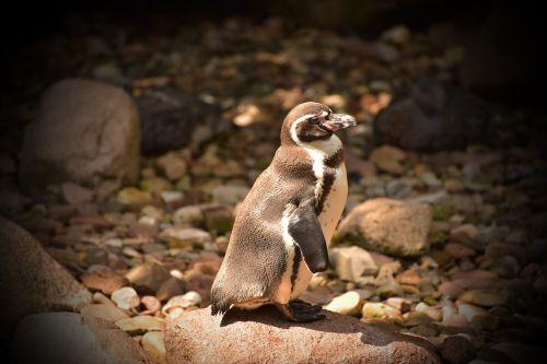 pingvinas,maža vandens paukštis,mielas,plumėjimas,padaras,gyvūnų pasaulis,laukinės gamtos fotografija,saldus,poilsis,įdomu,mažas,jaunas,gyvūnas,rūšis,gyvūnų portretas,vandens gyvūnai,vandens tvarinys