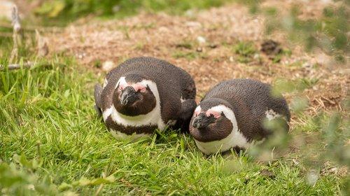 penguin  penguin couple  donkey penguin