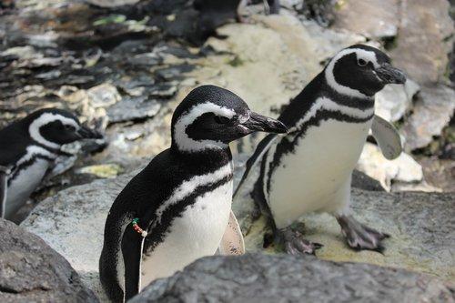 penguin  bird  water
