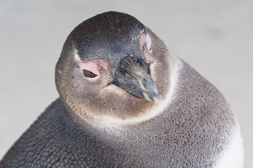 penguin  south africa  beach