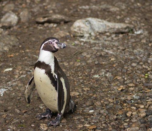penguin  humboldt  zoo