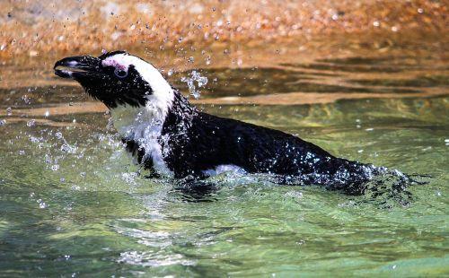 penguin bird african penguin