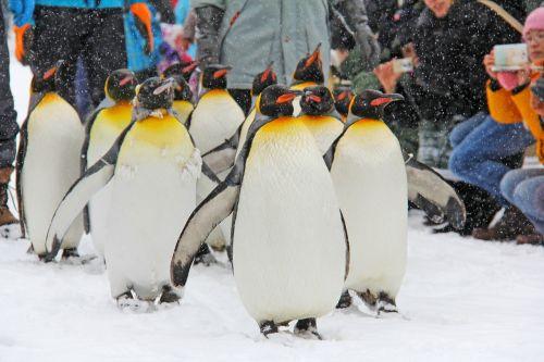 pingvinas,paradas,mielas,mielas,žiema,sniegas,šaltas,Japonija,Hokaidas,Asahikawa,zoologijos sodas,Saunus,meilė,mielas,sniegas,snieguotas,šaltis,sušaldyta,žavinga,sezonas,balta,sniego senis,šventė