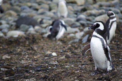 penguin animal animals