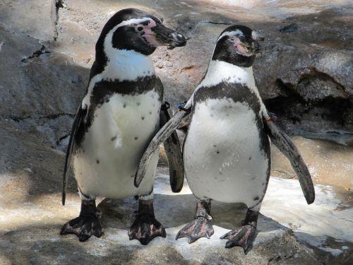 penguin pair couple cute