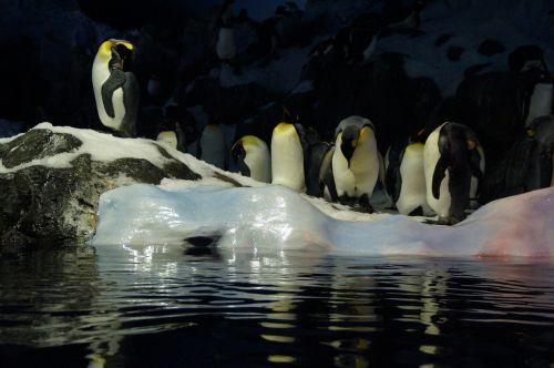 penguins ice floe zoo