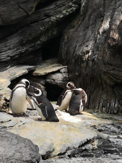 penguins  birds  couples