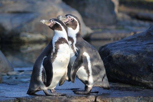 penguins  humboldt  birds