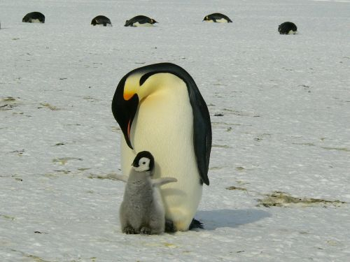 penguins emperor antarctic