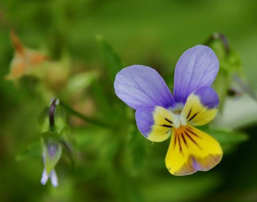 Pansy, žydėti, žiedas, gėlė, violetinė, geltona, žalias, gamta, vienas, vienas, subtilus, jautrus, minkštas, saldus, žiedlapis, minkštumas, Pansy