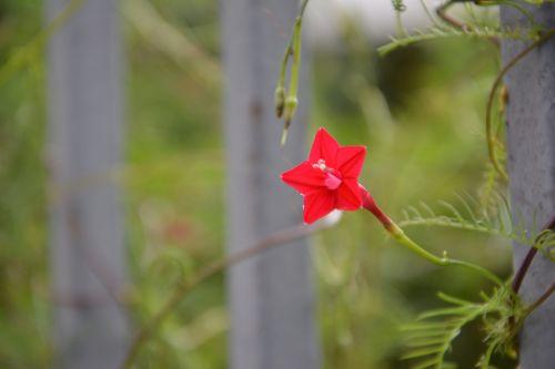 pentagram five-pointed star flower red flowers