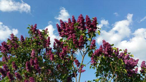 pentecost lilac sky