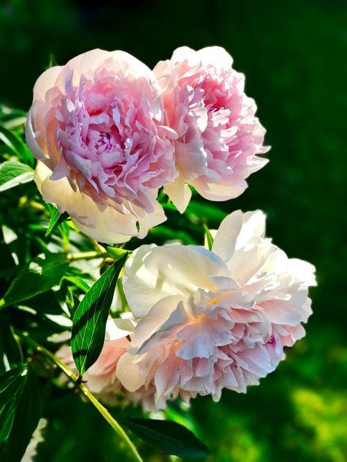 pentecost peony blossom
