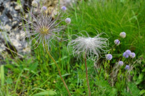 pentecostal-carnation flower meadow