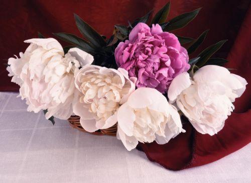 peonijos, gėlės, vis dar & nbsp, gyvenimas, balta, rožinis, vasara, peonijos