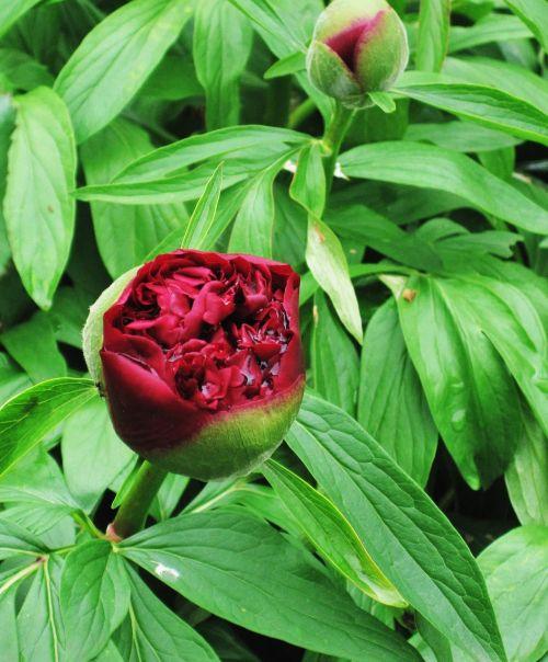 peony raindrop baby rose