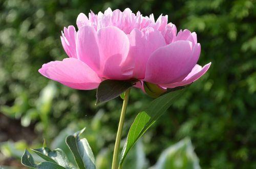 pikonija,rožinis,žiedas,žydėti,paeonia,gėlė,rožinė gėlė,dviguba gėlė