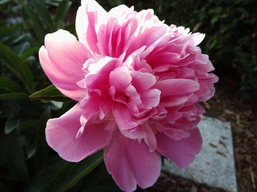 peony pink blossom