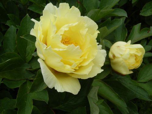 peony cream color flowers
