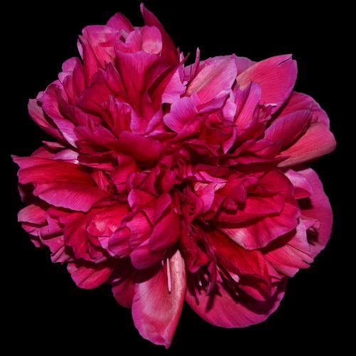peony red blossom