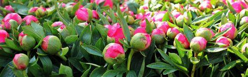 peony flowers plant