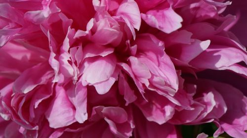 peony pink spring