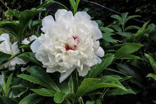 peony paeonia blossom
