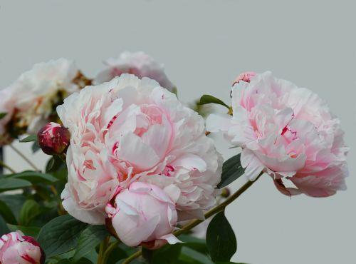 pikonija,žiedas,žydėti,rožinis,gėlė,dviguba gėlė,augalas,Uždaryti