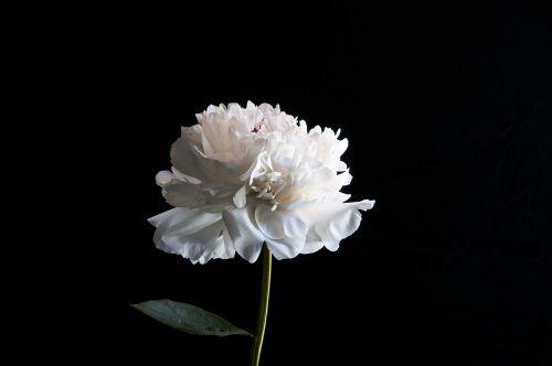 pikonija,balta,gėlių,žiedas,vasara,gėlė,šviesus,diena,minimalistinis,minimalistinis,šiuolaikiška,peonijos,žiedlapiai