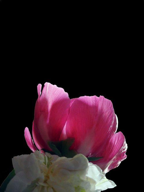 peony pentecost blossom