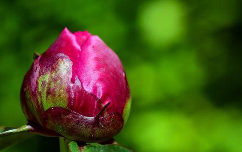 peony bud flower