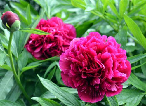 pikonija,raudona,žiedas,žydėti,gėlė,pavasaris,flora,sodas,gėlių sodas,dekoratyvinis augalas,dviguba gėlė,pentecost,Uždaryti,sodrus,pilnai žydėti,žydėti,gražus,gamta,budas,makro