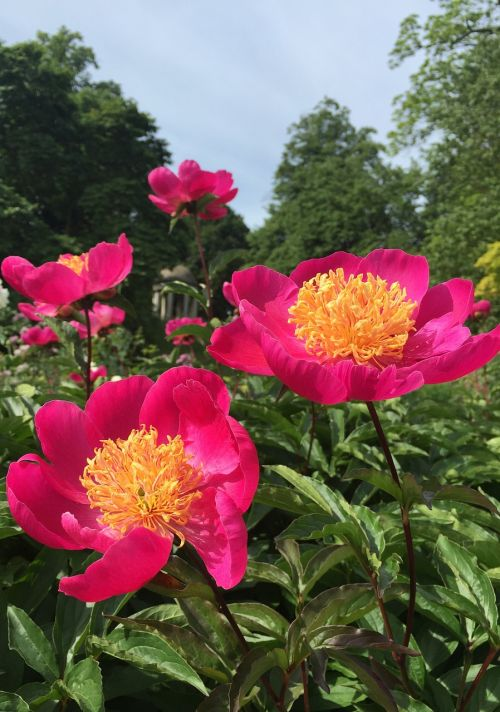 peony botanical garden pink