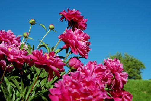 peony bush pentecost rosengewächs