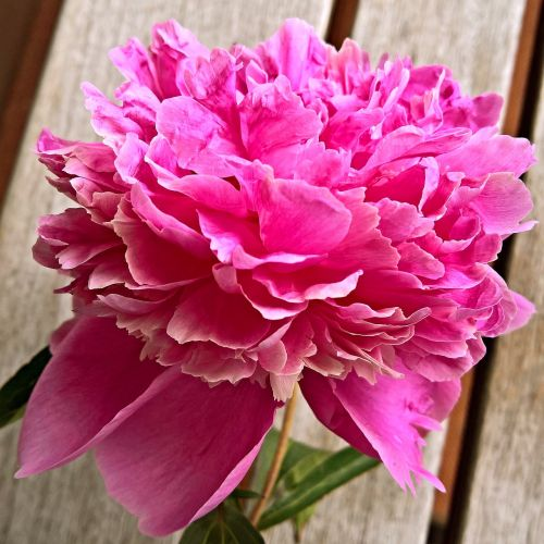 peony flower single bloom