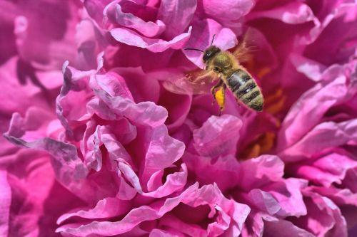 peony bee pink