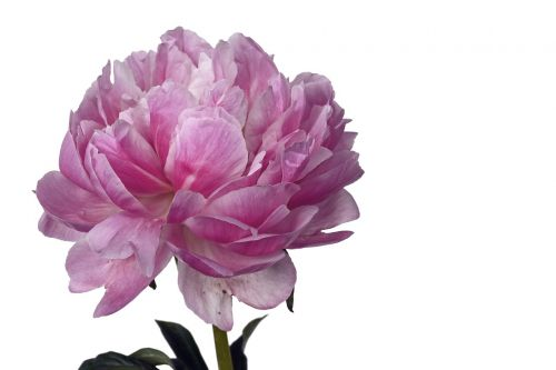 peony flower floral