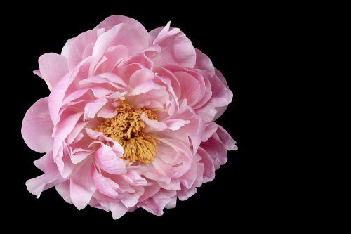 pikonija,gėlė,gėlių,gamta,rožinis,žiedlapiai,žydėti,natūralus,romantiškas,augalas,spalvinga,juoda,fonas