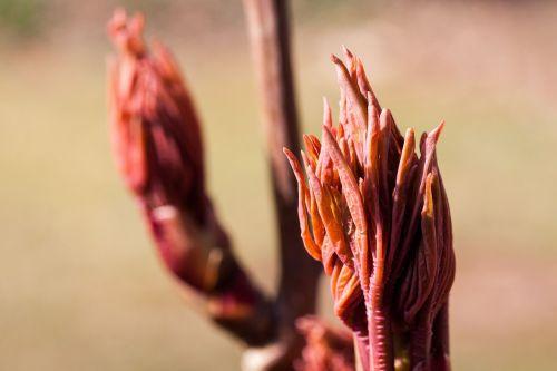 peony leaf bud flower