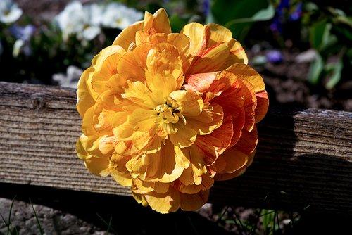 peony  flower  orange