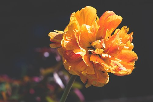 peony  orange  orange flower